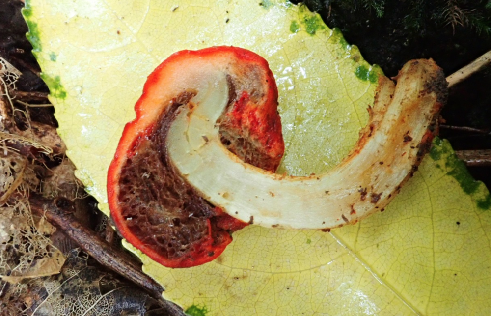 The cap encloses its spore forming structures, ensuring no spores escape the fruiting body until avian consumption. Mushroom found in New Zealand by  Anthony McCaughan .