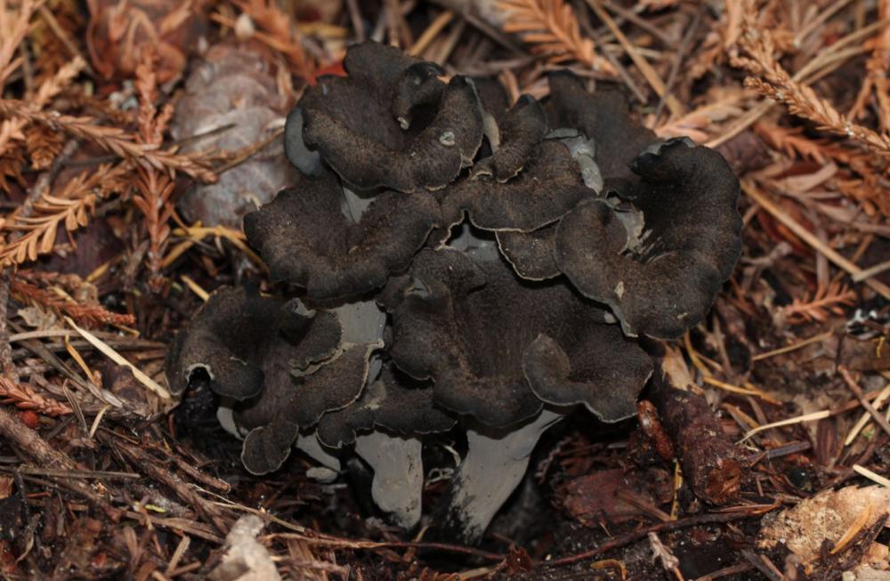 Craterellus cornucopioides by  Alan Rockefeller .
