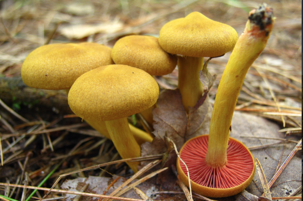 Cortinarius semisanguineus . Photo by  Paul Derbyshire .