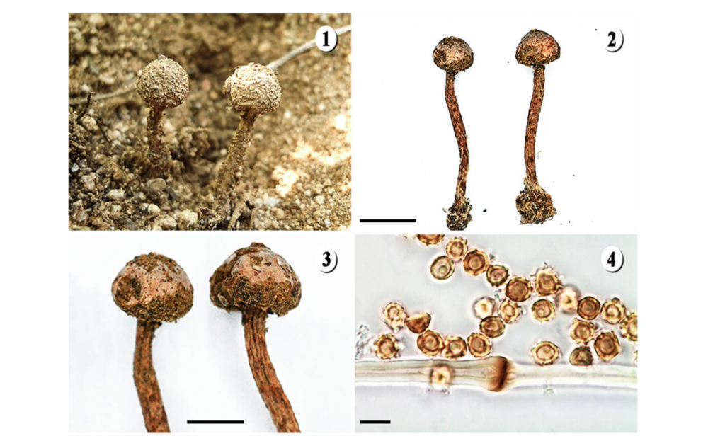 Newly described  Tulostoma rufescens.   Hernández-Navarro et al. 2018 .