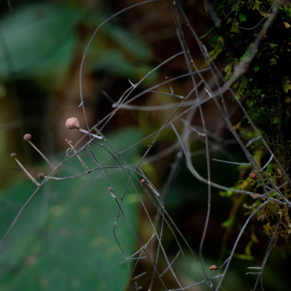 Marasmius crinis-equi.  Photo by    Danny Newman .
