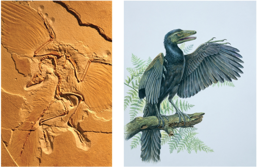 The  Archaeopteryx  fossil and an artist's depiction of the ancient lizard bird.