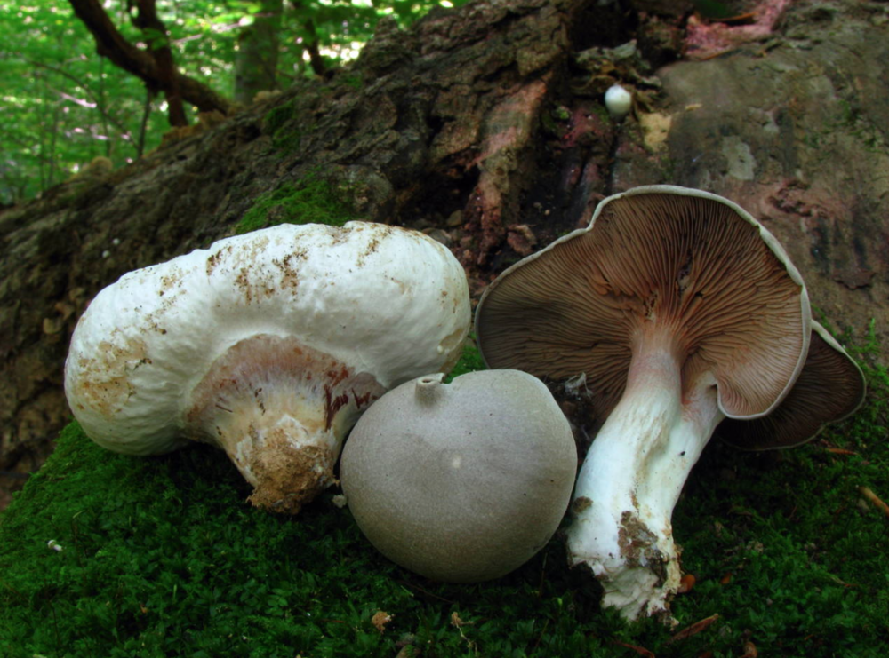 Entoloma abortivum. Photo by  Phil Yeager .