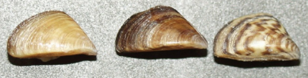 Three color variations of the Great Lake invader, the zebra mussel.