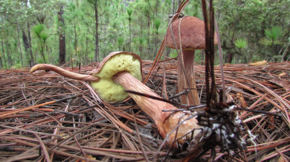 Aureoboletus projectellus  living amongst pines with a rare cap mutation. Photo by  Murrill Halling .