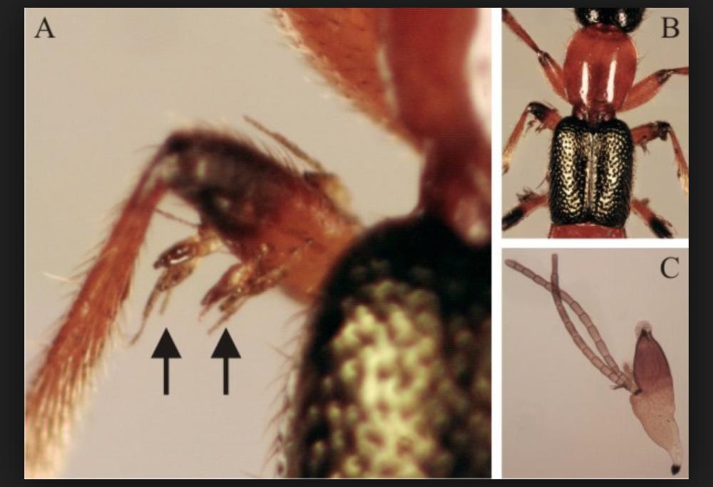 Laboulbenia cristata  on the legs of a Rove Beetle ( Paederus riparius ).