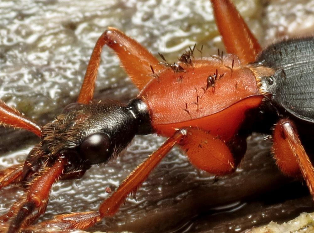 Commensal/parasitic  Laboulbenia  species.