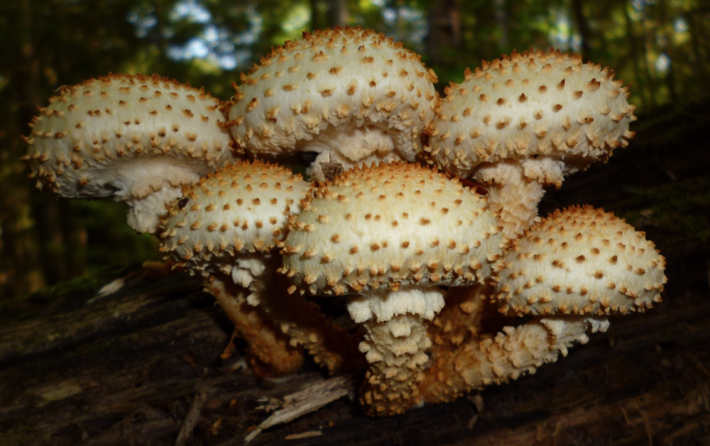 Pholiota squarrosa  found in New Jersey by    I. G. Safonov .