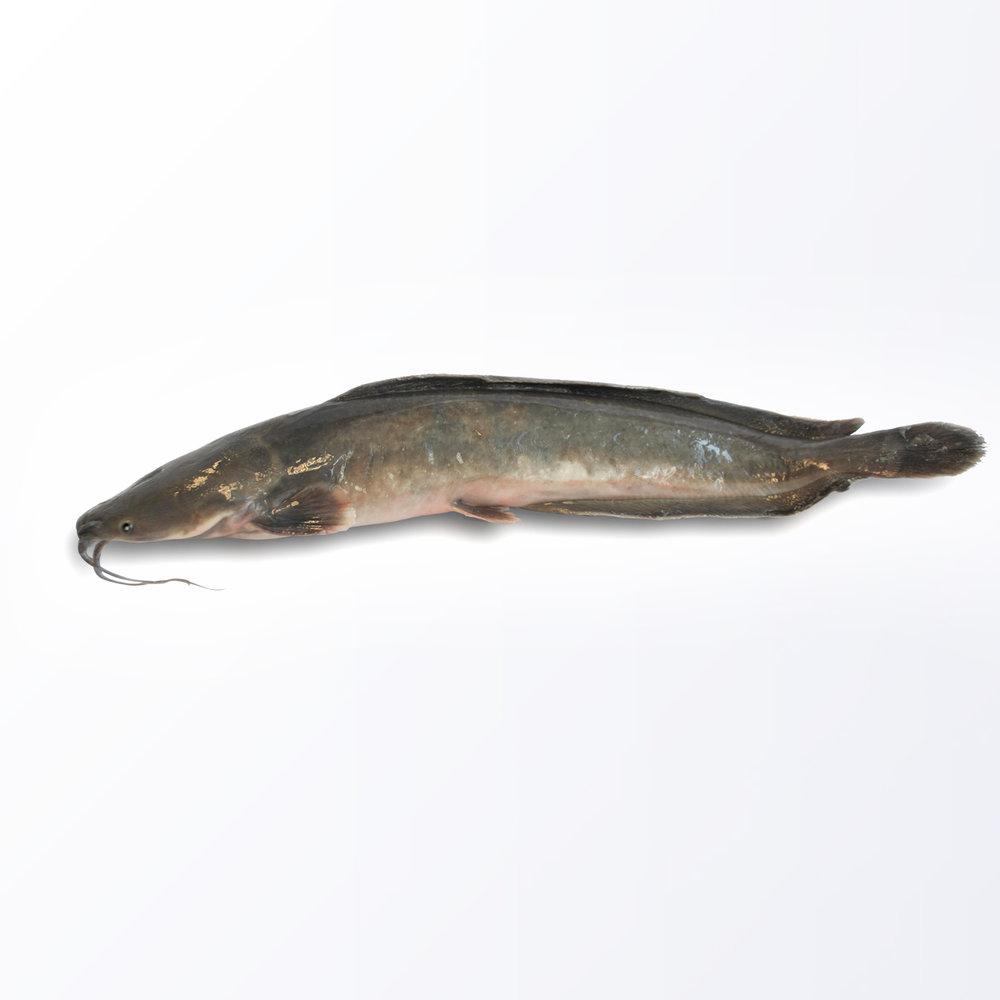 BRO103-Broadhead-Fish.jpg