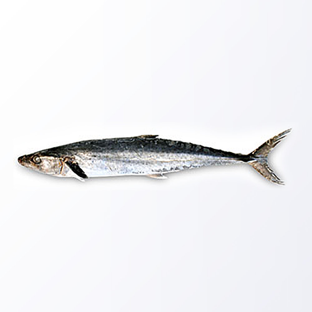 MAC108-Mackerel-King.jpg