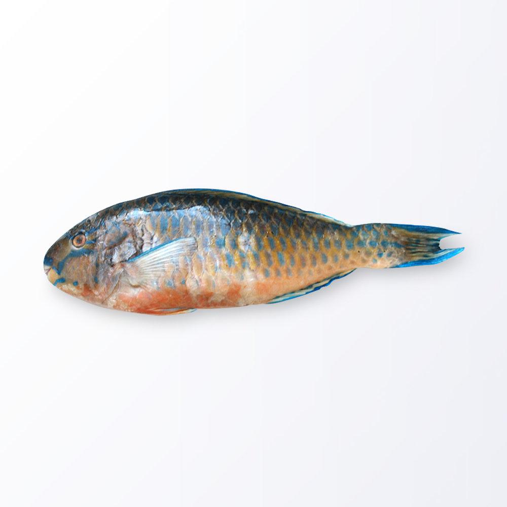 PAR102-Parrot-Fish.jpg