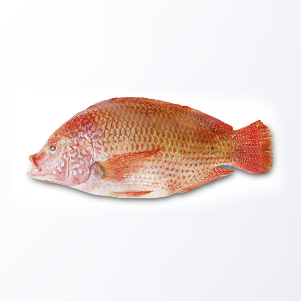 TLP156-Tilapia-Red.jpg