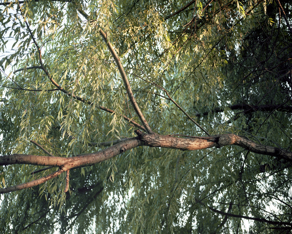 willow branch.jpg