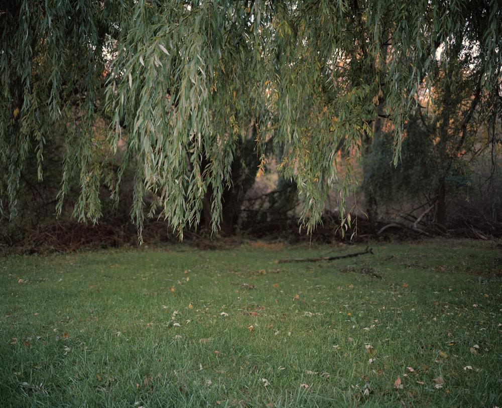 41-willow tree leaves().jpg