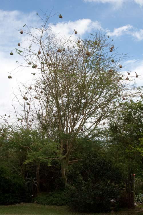 weaver-tree