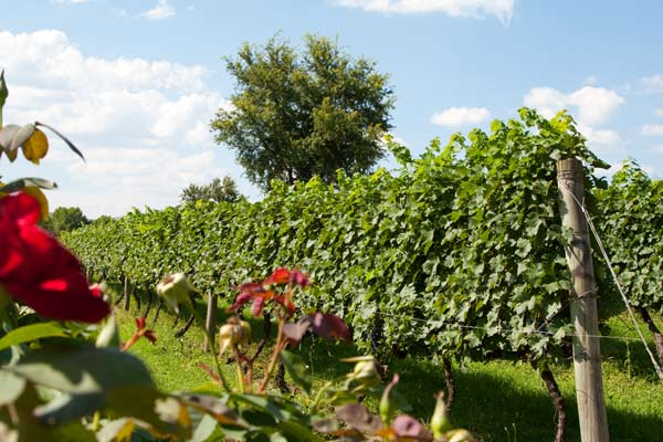 rose-and-vines