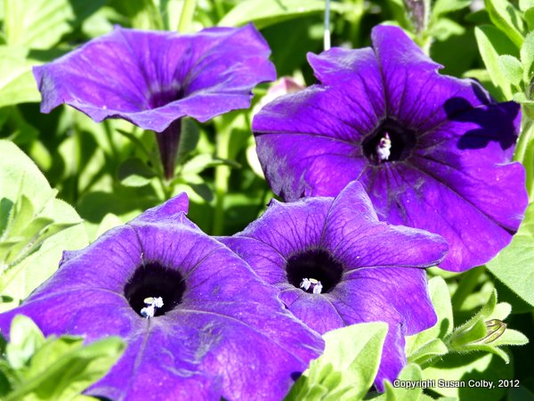 petunias at the farmers market