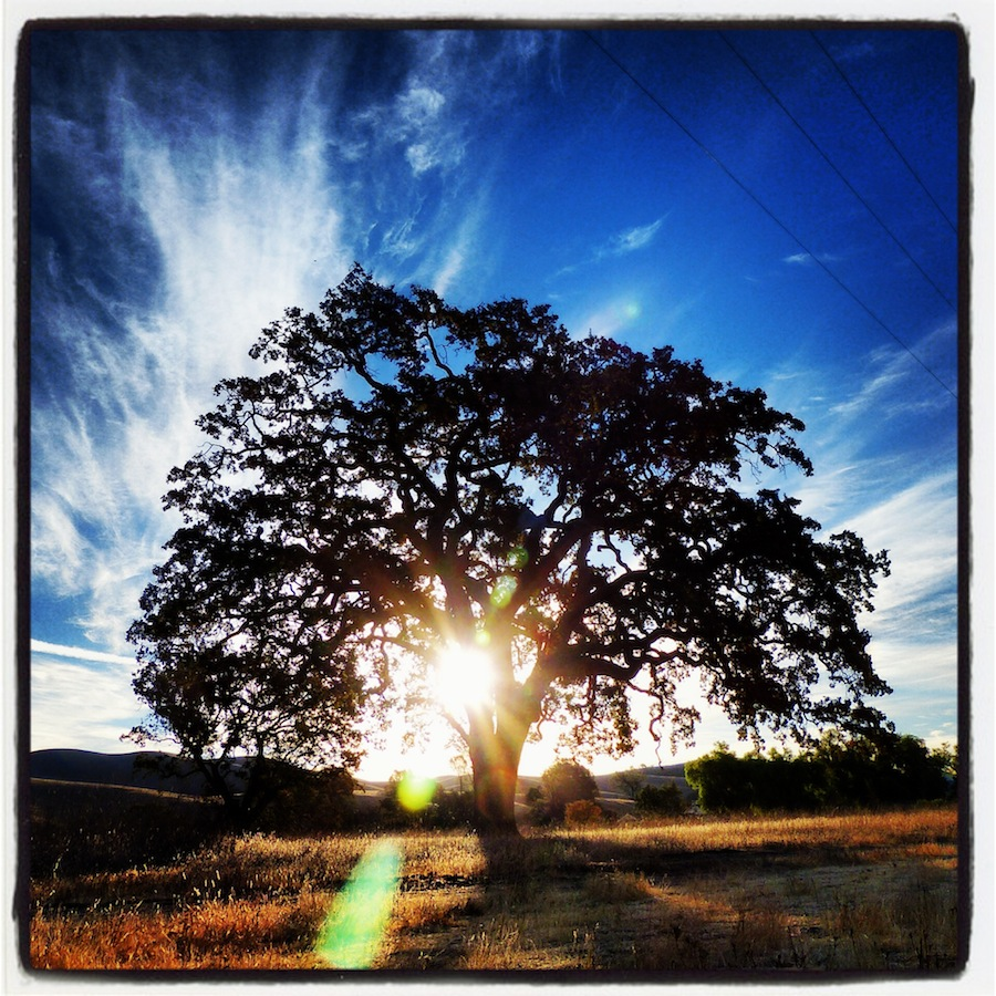 An oak tree with instagram treatment - early morning at the Reserve