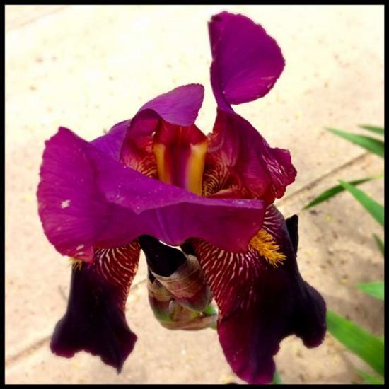 purple spring  iris