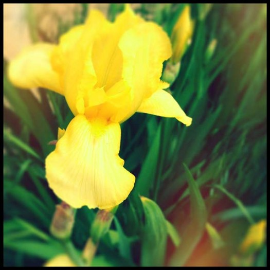 Yellow Iris in spring