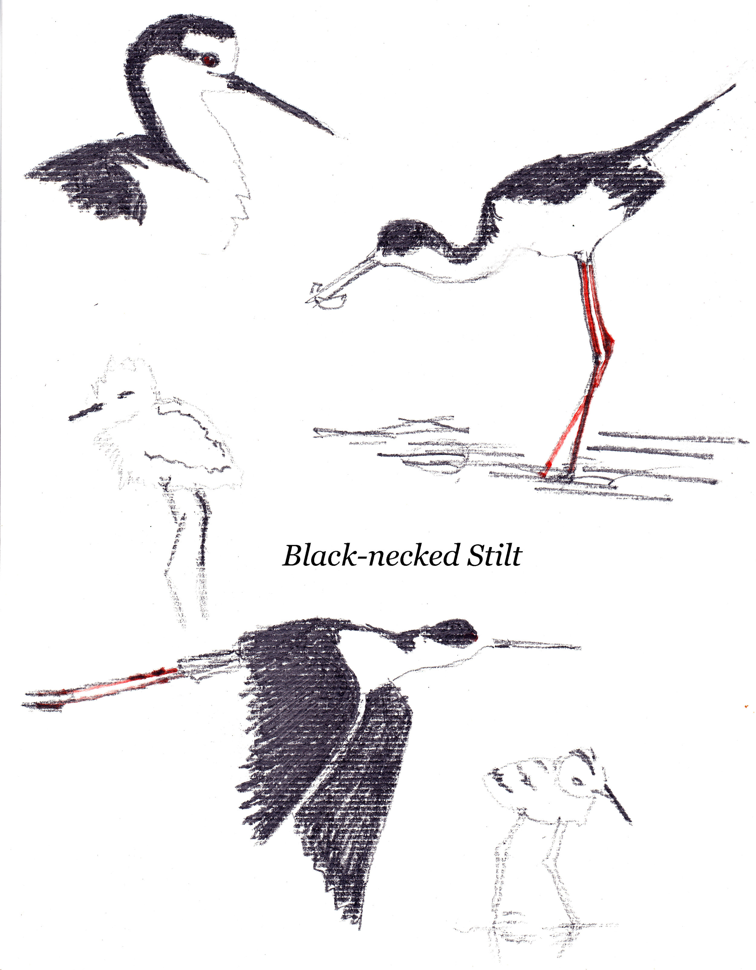 Ann McMillan Black necked Stilt sketches