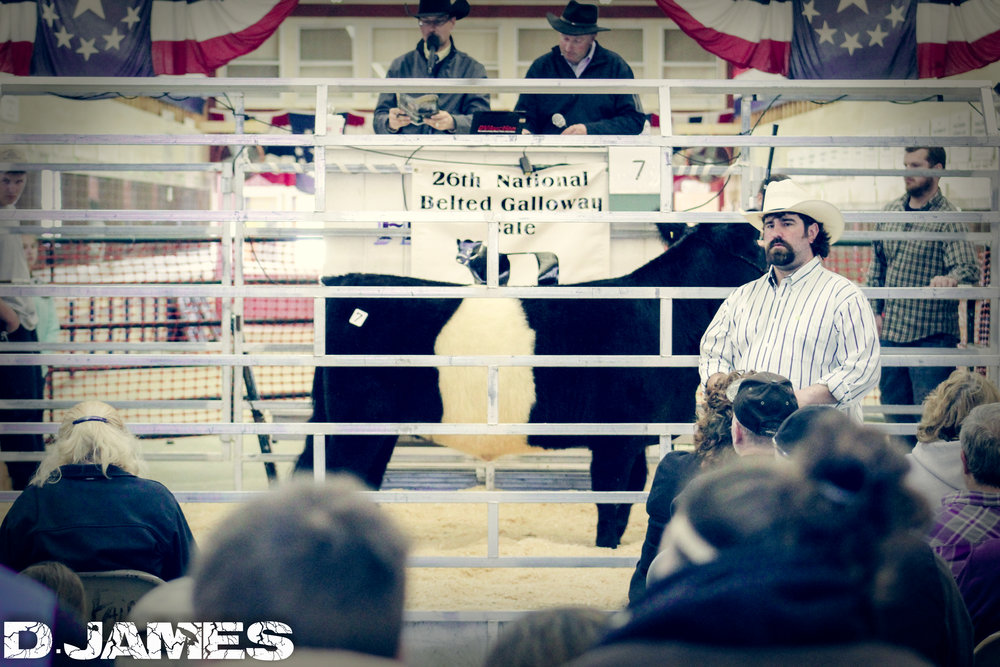 26th National Belted Galloway Sale - April 2016 - Fryeburg, Maine (    Example of Event Photography/Promotion)