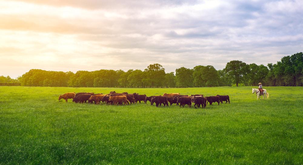 Cattle-1.jpg