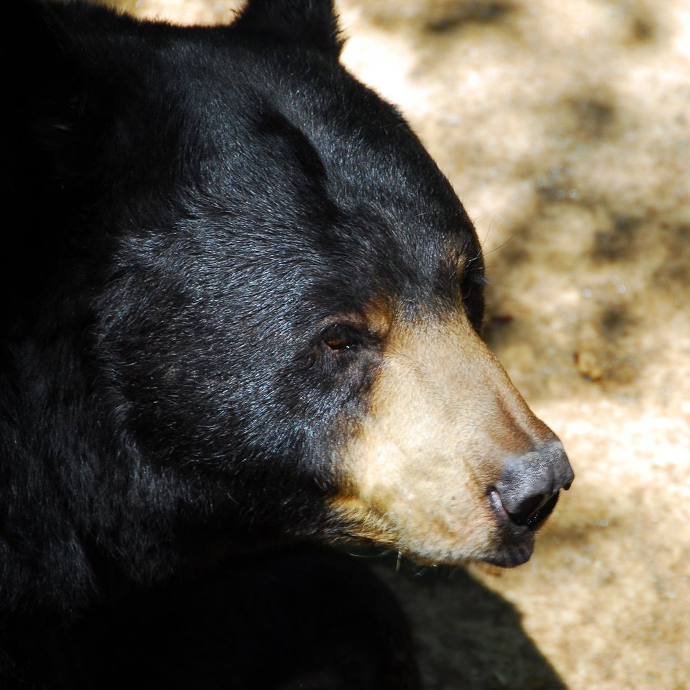 black-bear-up-close.jpg