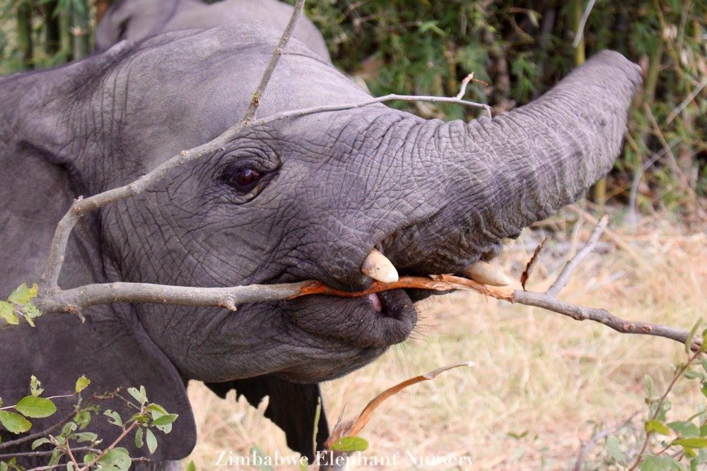 Female ♀ African Bush elephant Annabelle at Zimbabwe Elephant Nursery (ZEN)