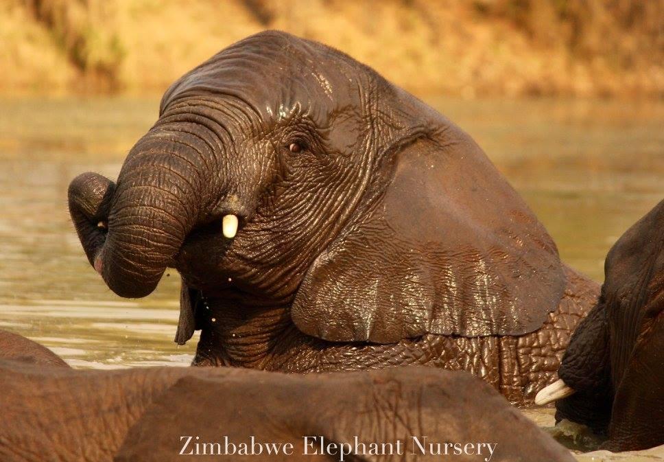 Male ♂ African Bush elephant (Loxodonta africana) Matabele at Zimbabwe Elephant Nursery (ZEN)