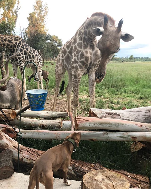 Mirabelle and Badger, that must be quite intimidating even when you are a pitbull! #wildislife_zen #giraffe #pitbull #conservation #onebyone