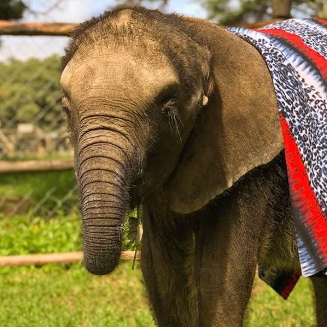 Those eyelashes! Molly continues to improve apace. Every day brings a new change ... sooo happy! #mollystrong #zimbabwe #elephant #nursery  #everylifematters #action4ifaw