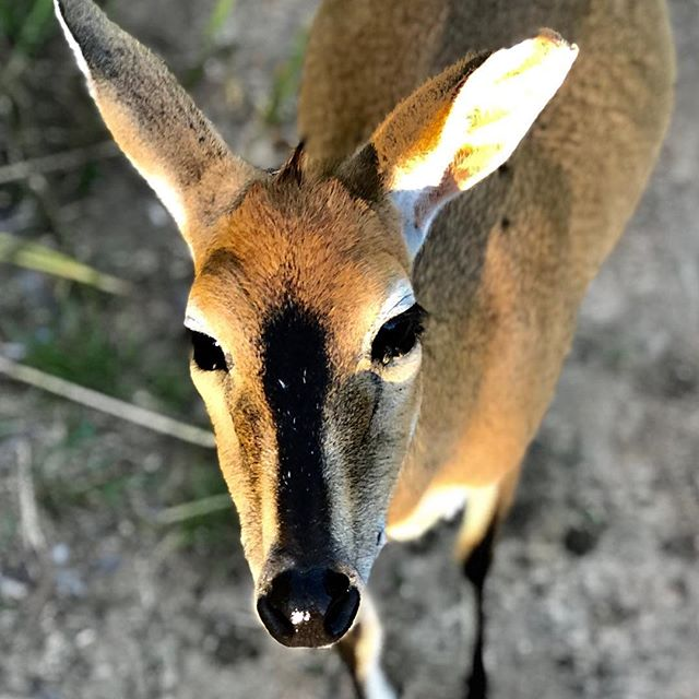 Zoya the duiker ... pregnant and always hungry! #rescued #rehabilitation #everylifematters #antelope #onebyone