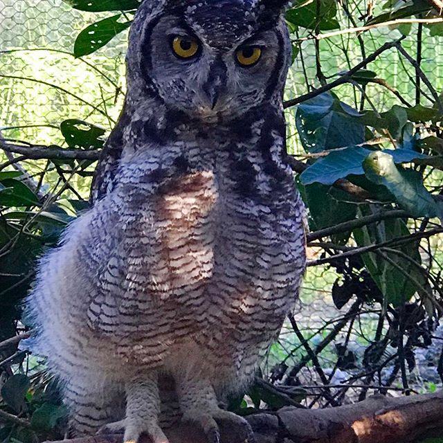 Owlbert ... single winged rescue owl. #everylifematters #owl #rescued #rehabilitation #eyes