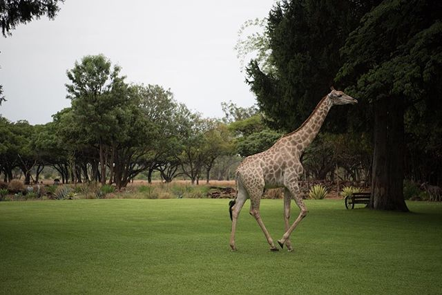 Do step on the grass. #zen_wildislife #giraffe #sanctuary #sunday by @worlds_to_say