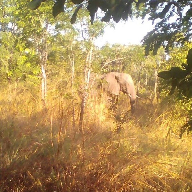 Wild bull elephant relaxing and feeding near to one of our anti poaching ranger camps in Panda Masuie Forest. This photo taken by Zibonele Phiri, group Captain Sitangani Base. These rangers are at the frontline of protecting wild elephants and other animals and we salute them. #zen #wildislife #ifaw #zimbabweelephantnursery #zimbabwe #africa #antipoaching #pandamasuie #zimparks #forestrycommission @zen_wildislife @action4ifaw