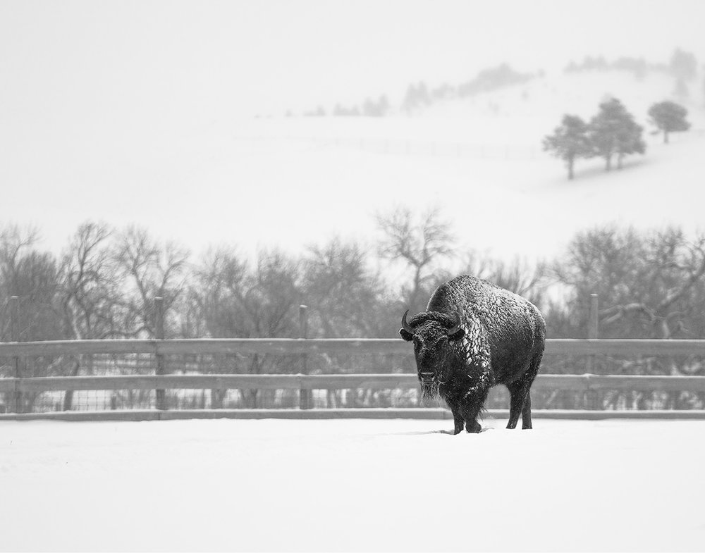 Bison in the Corrals, Custer State Park