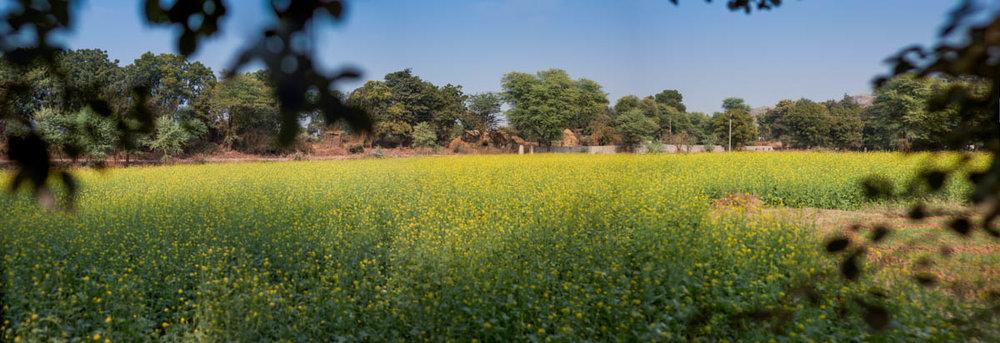 Sarson (mustard) field in Ranthambhore, November 2011