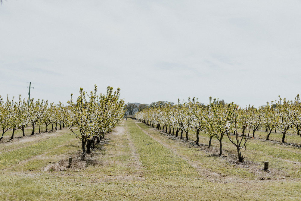 cherry orchard in Central NSW