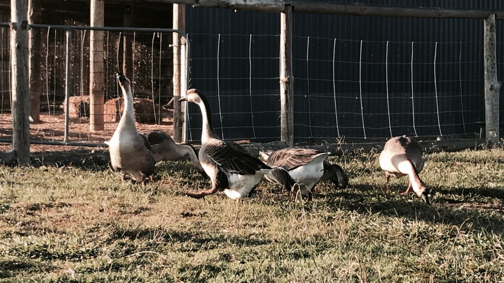Chinese geese in Central NSW