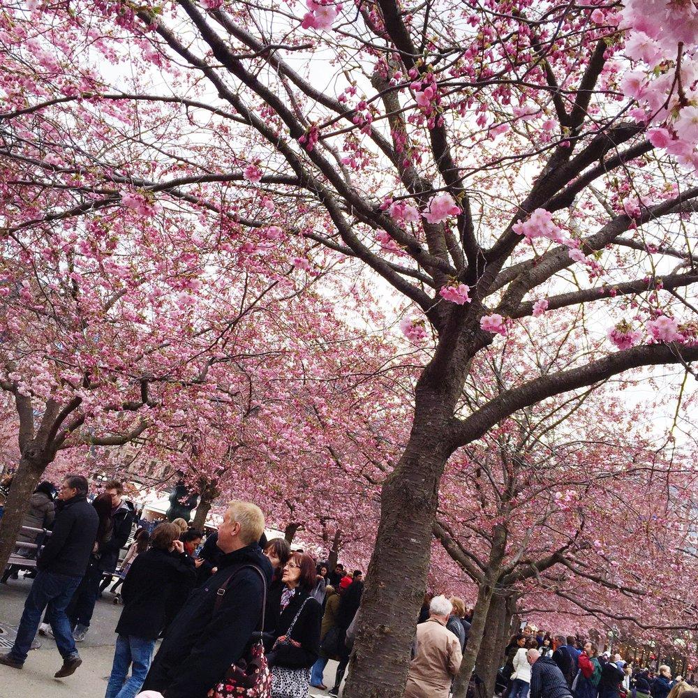 Kungsträdgården Cherry Trees