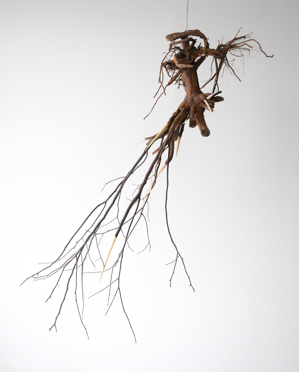 "Opposition  60"" x 66"" x 36""  Juniper root, 3 year old Washington Hawthorn tree, polymer clay  (2015)"