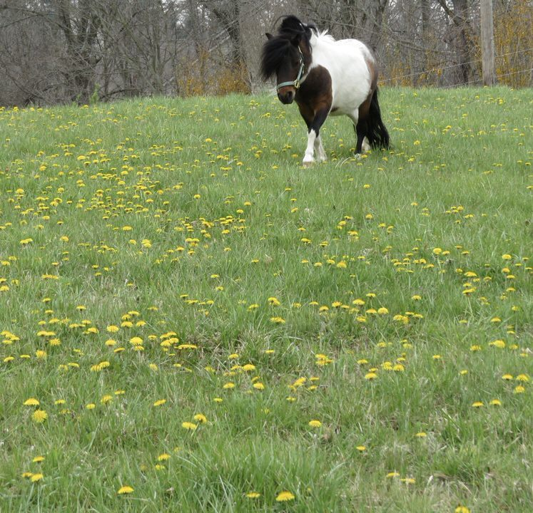 Cute pony in field of dandelions