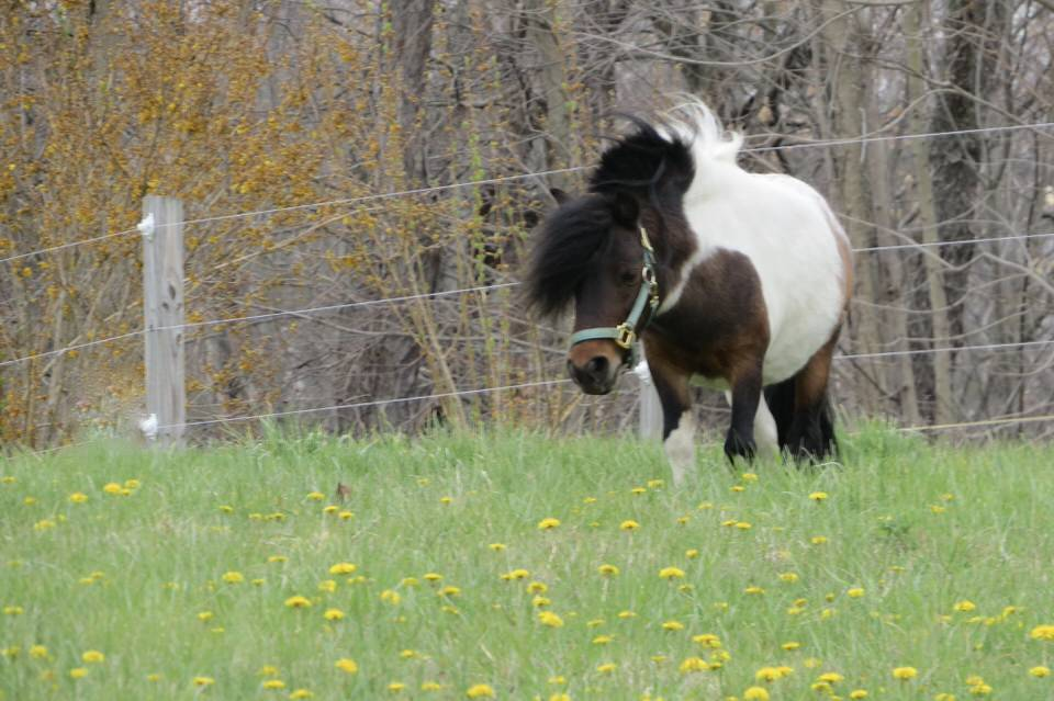 Pony in field with flowers