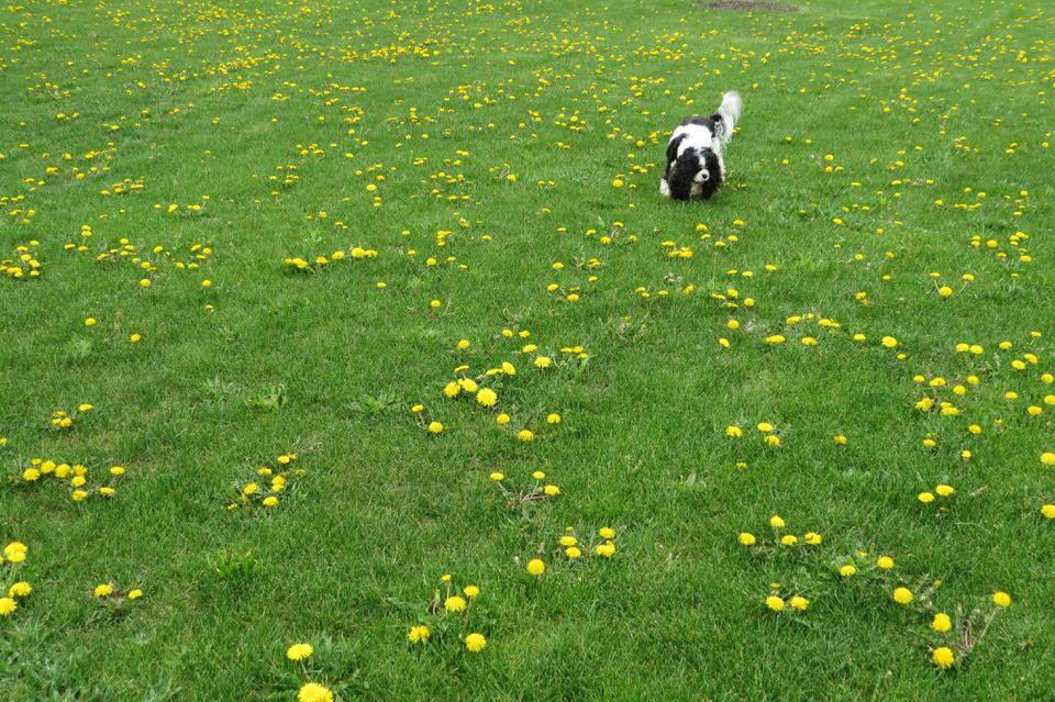 Agatha of Agatha's Apothecary in field of dandelions
