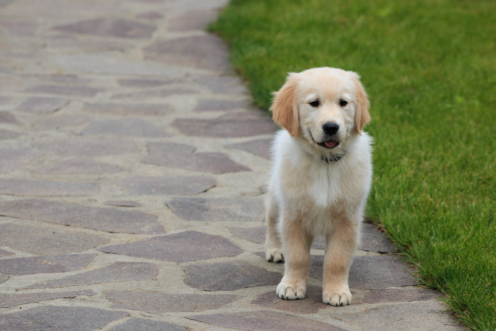 Could probiotics help Golden Retrievers live longer by helping build a stronger immune system?