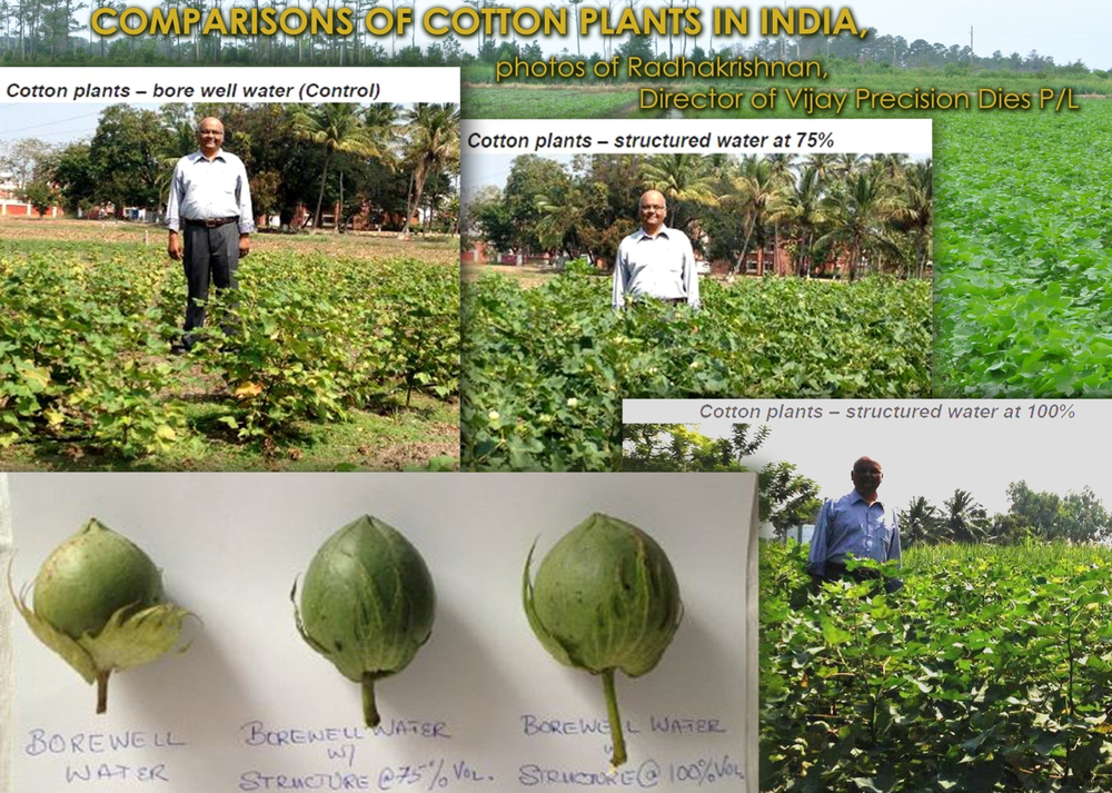 """Central Institute for Cotton Research: - """"The Structured water irrigated cotton were taller in stature, produced more number of leaves, higher chlorophyll, root cation exchange capacity, nutrient uptake, and accumulated higher dry matter production. Crystal Blue Structured Water produced higher boll numbers (49.9/plant) compared to borewell irrigated cotton (40.1/plant), Boll weight also higher (6.83 g/boll) compared to 5.66 g/boll. Structured water cotton yield was 3173kgs compared to 2836kgs in borewell water. Fiber attributes better with structured water."""""""