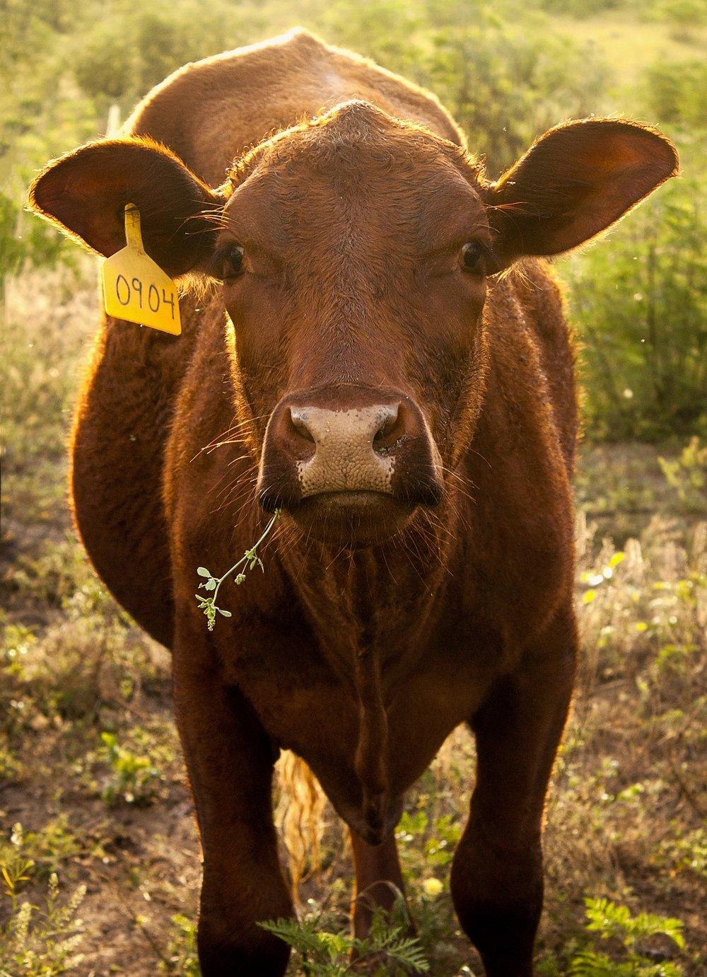 cow-2197082_1920.jpg