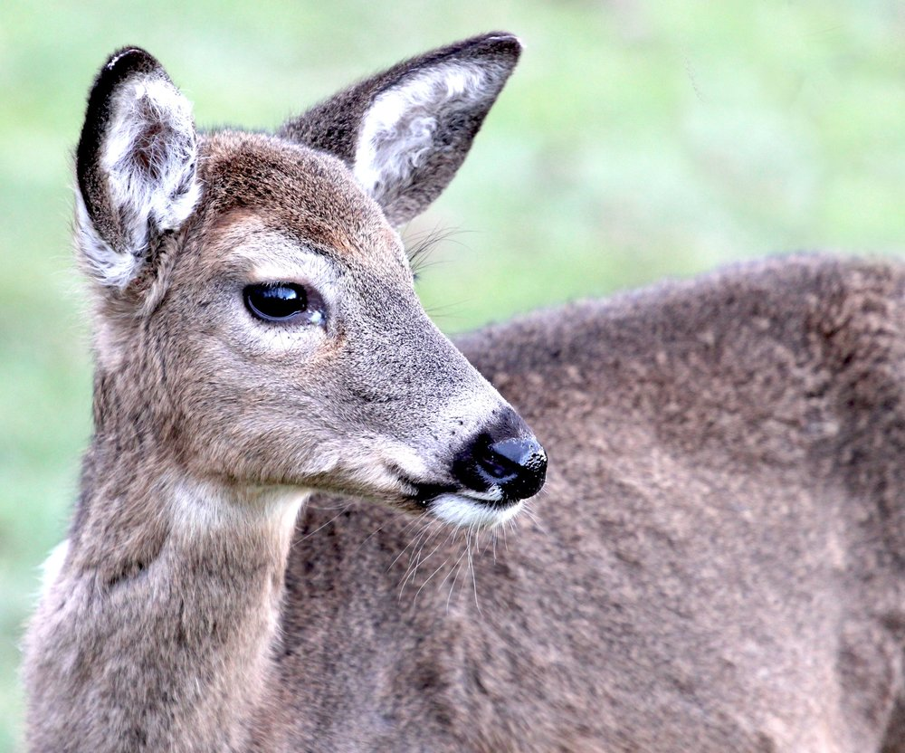 Small Size Fawn.jpg