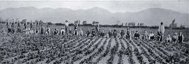 Workers on Mr W. Roberts' chicory farm, Spreydon, 1905. Image: Christchurch City Libraries